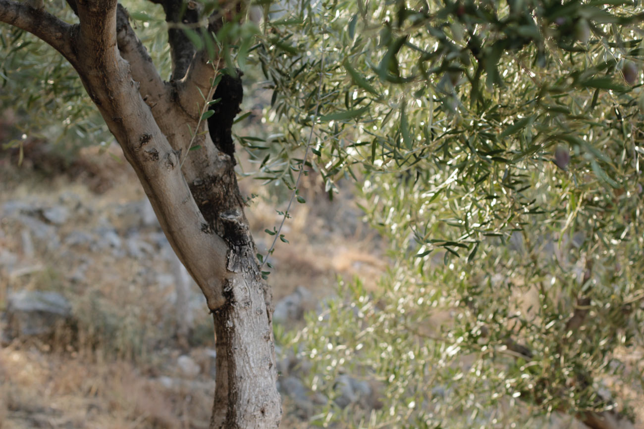 paula-immich-olive-trees-gytheo-peloponnese